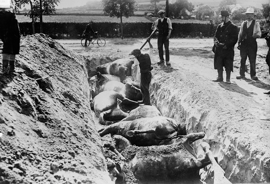Local townsmen help with the grisly work of burying horses killed in Battle of Haelen, in 1914.